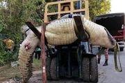 تمساح کودک 8 ساله را زنده زنده خورد + عکس